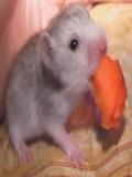 Imagini Si Poze Hamsteri