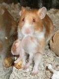 Poze Cu Hamsteri