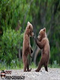 Poze Cu Ursi
