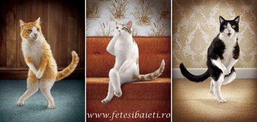 Pisica Persana, Pisica Birmaneza