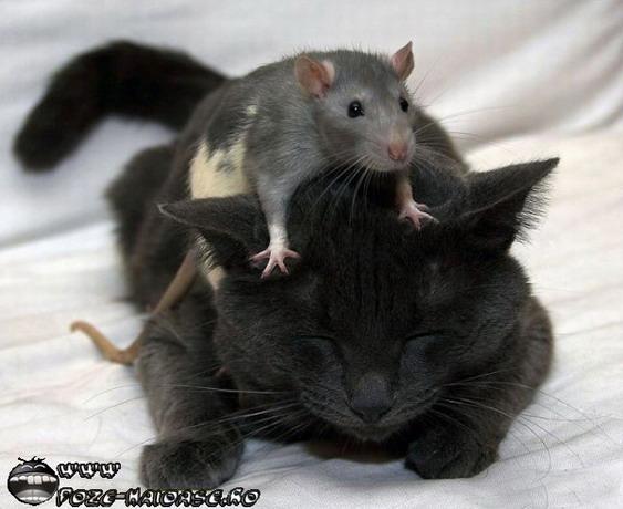 Soricei Si Pisici