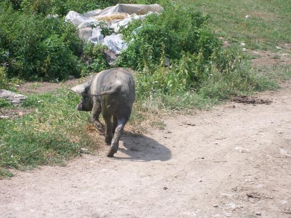 Poze Cu Porci
